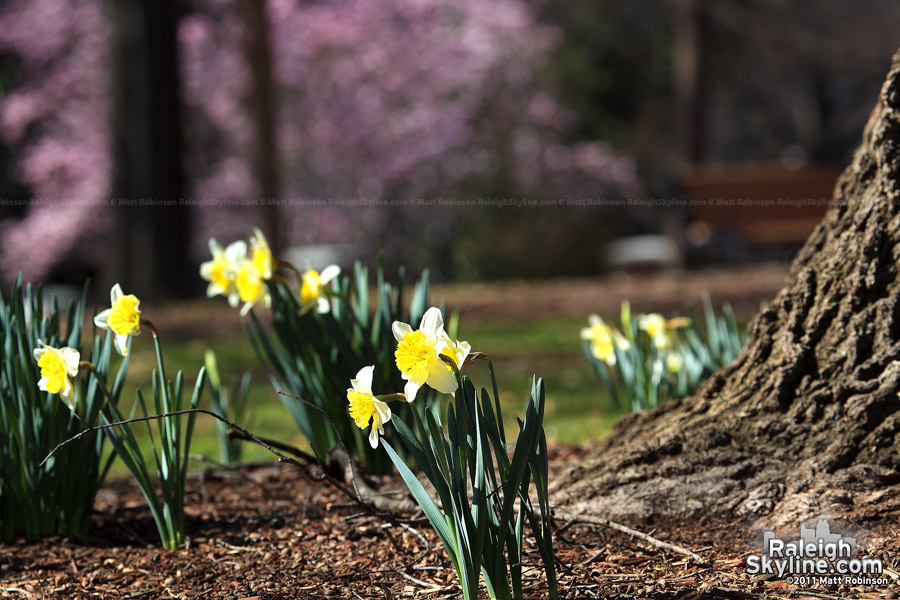 Early spring daffodils in Nash Square