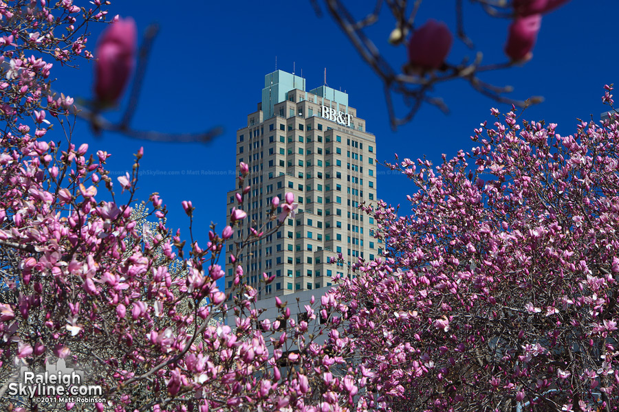 Saucer Magnolias surround Two Hanover Square