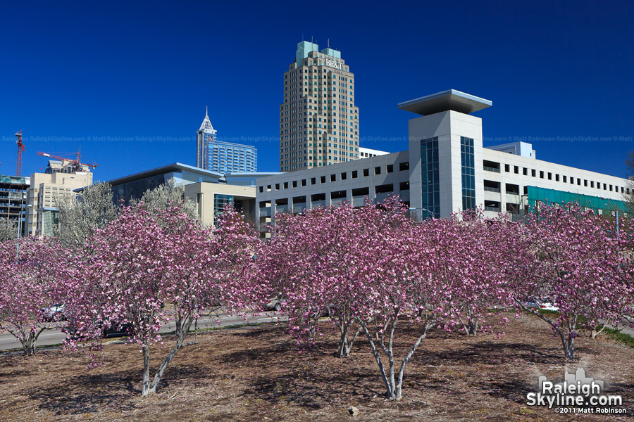 Saucer Magnolias with the Raleigh skyline and convention center