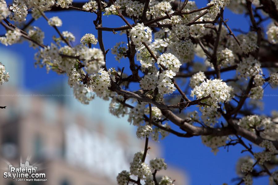 Bradford Pear bloom