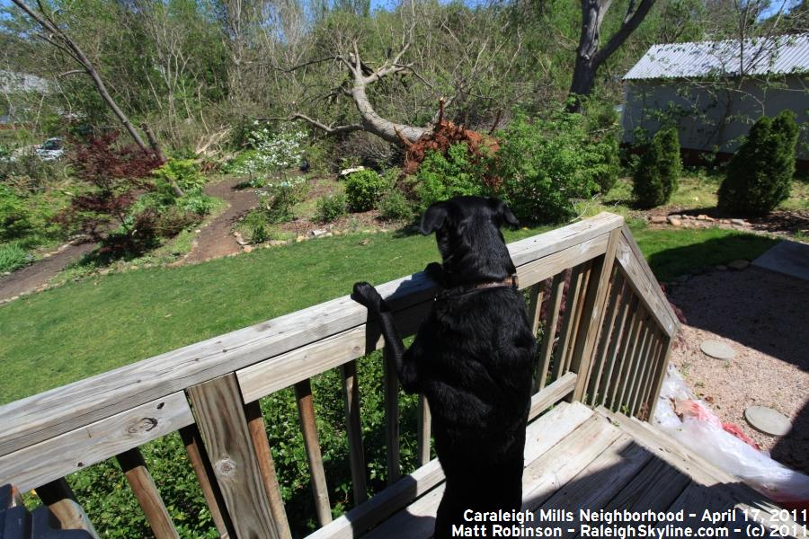 Beau surveys my back yard (recall snow picture from last year)