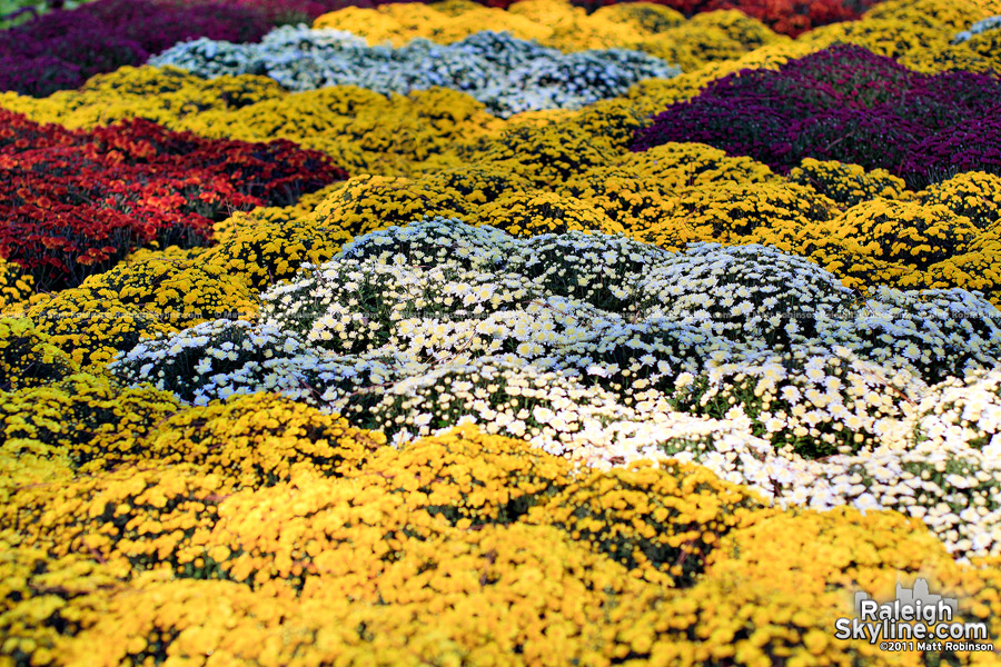 Colorful mums at the NC State fair