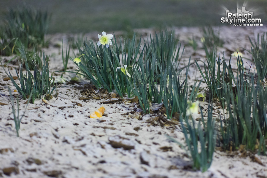 Snow on the early spring daffodils