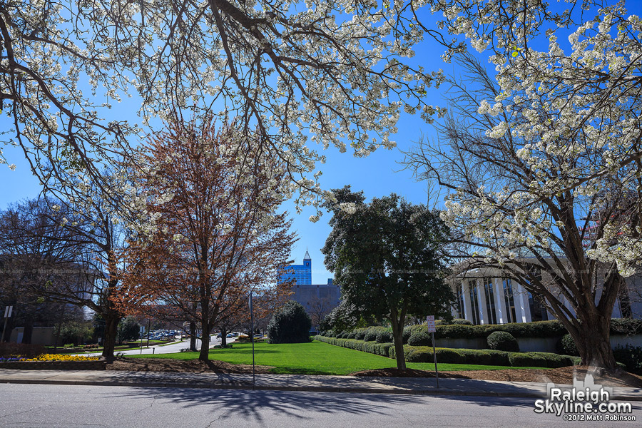Bradford pear blooms from the NC Legislative Building