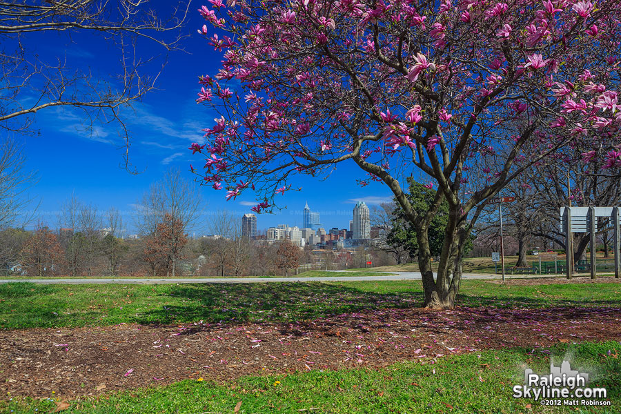 Betty Magnolia or Saucer blooming with the Raleigh Skyline