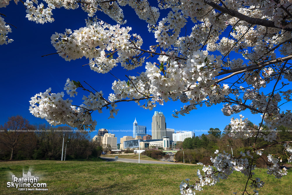 Cherry Blossoms with the Raleigh Skyline
