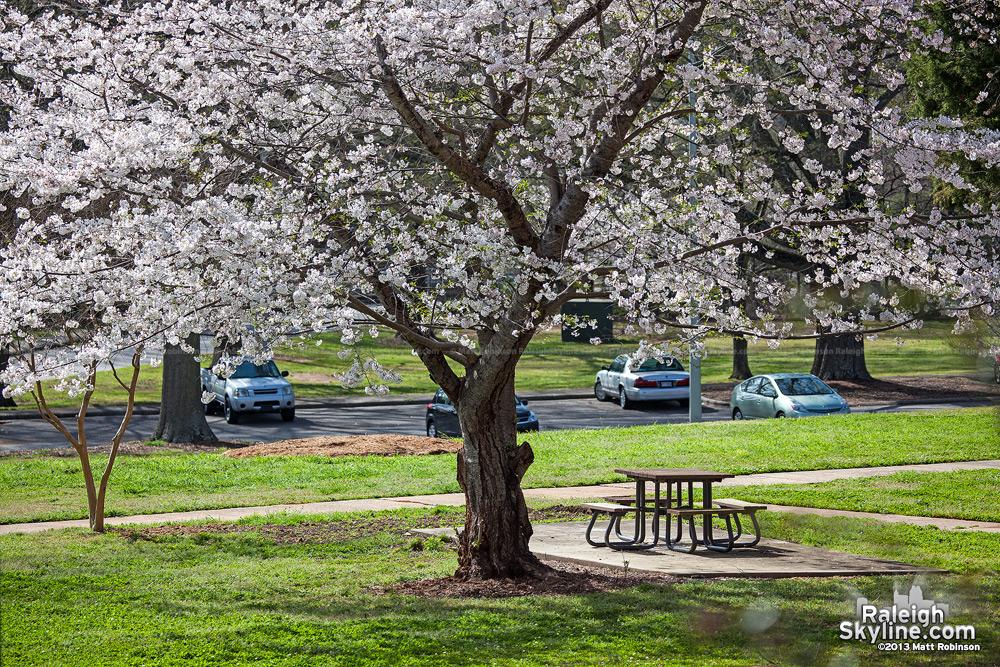 White blossom at Dorothea Dix
