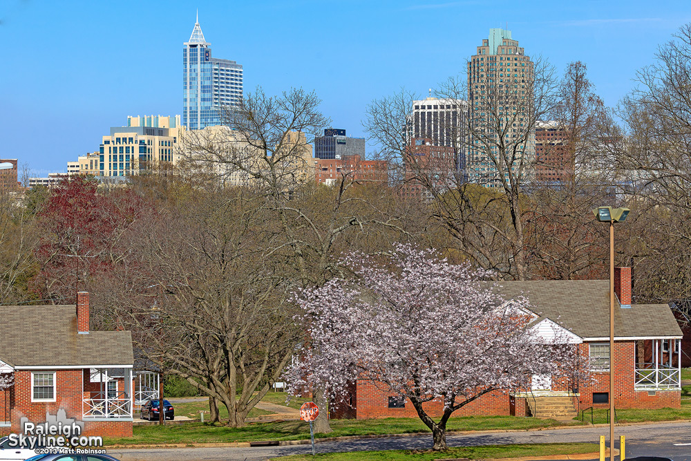 Cherry Blossom tree blooming with downtown Raleigh