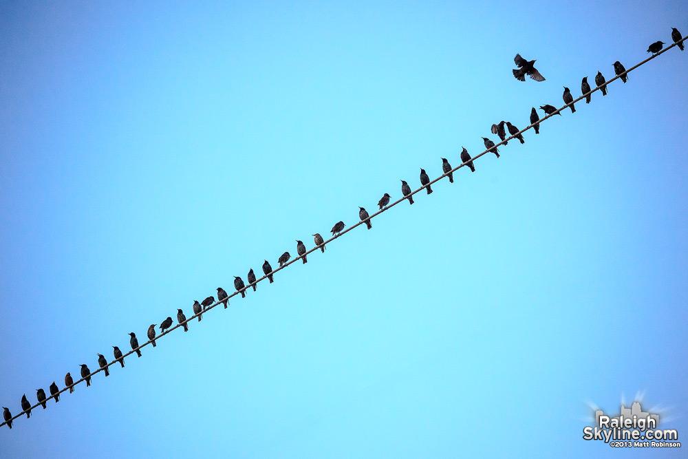 Birds on a West Street wire