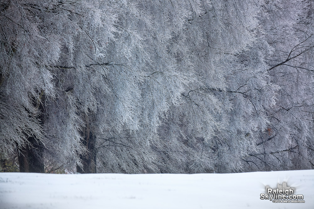 Old trees covered in ice in Raleigh
