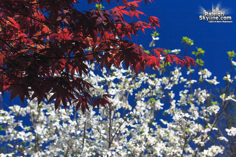 Red Japanese Maple and White Dogwood Blooms