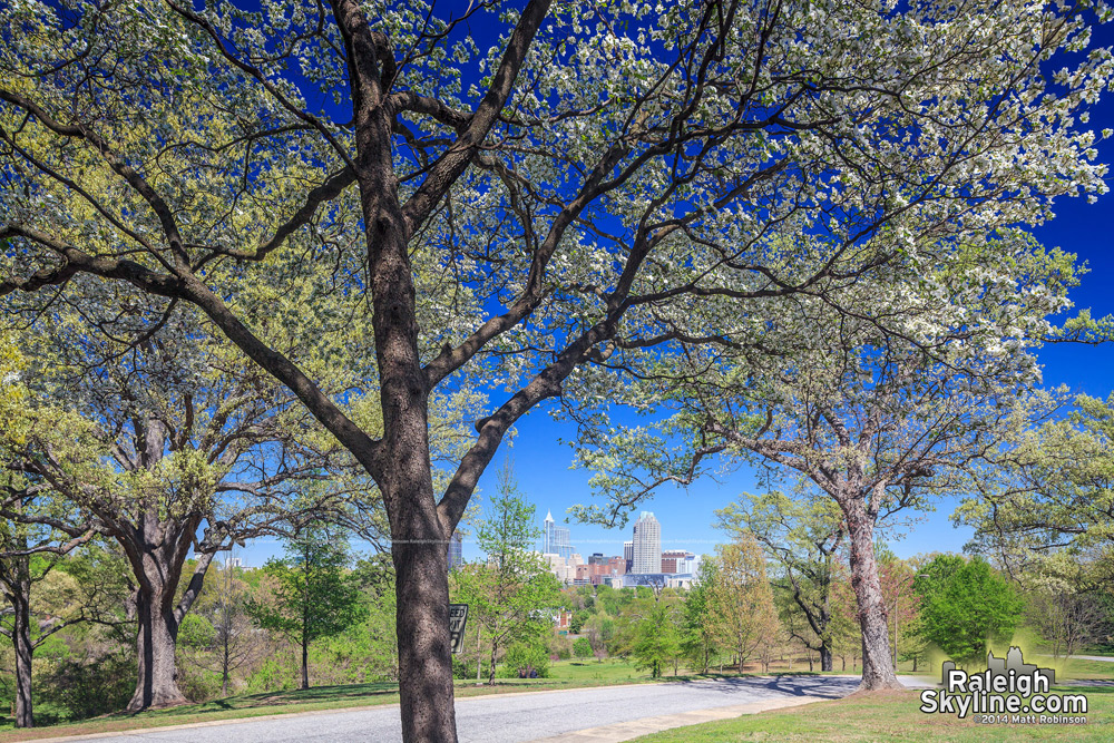 Dogwood tree with downtown Raleigh in the spring