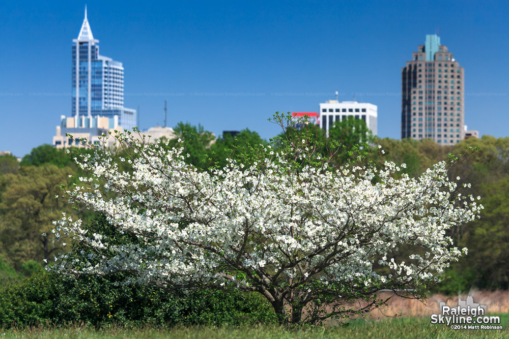 Flowering tree with downtown Raleigh