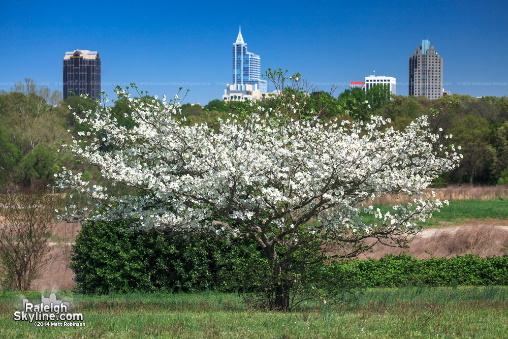 White blooming tree with downtown Raleigh