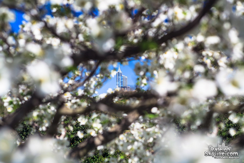 PNC Plaza seen through flowering tree blossoms