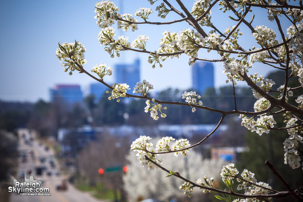 Bradford Pear blooming with Raleigh Skyline