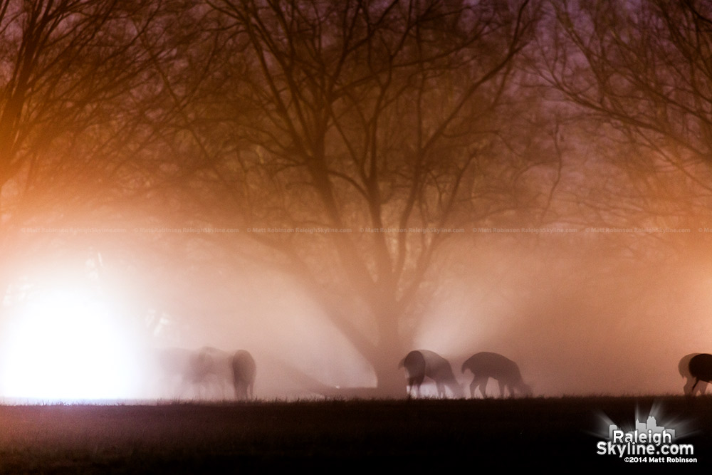 Deer in the fog at Dorothea Dix Raleigh