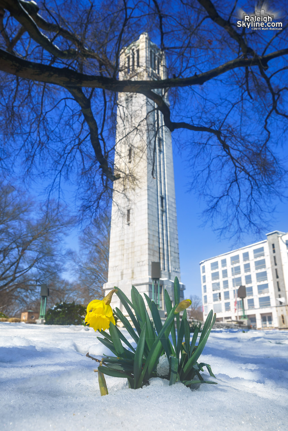 Daffodil rises in the snow with NCSU Bell Tower
