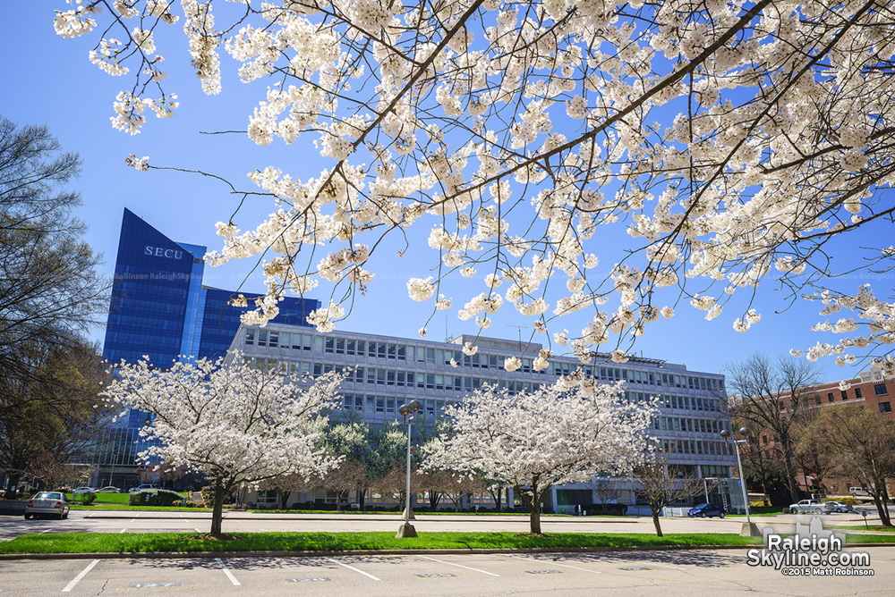 Cherry Blossom and SECU Headquarters