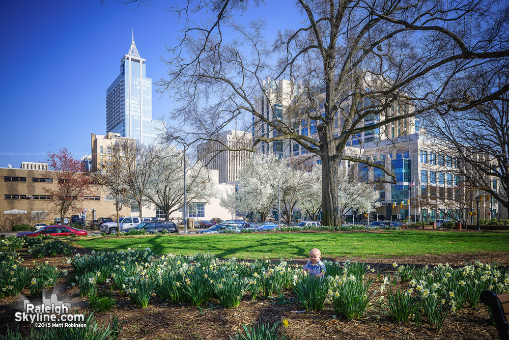 Daffodils blooming at Nash Square with PNC Plaza