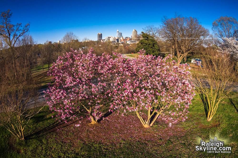 Aerial of blooming Saucer Magnolias and Downtown Raleigh