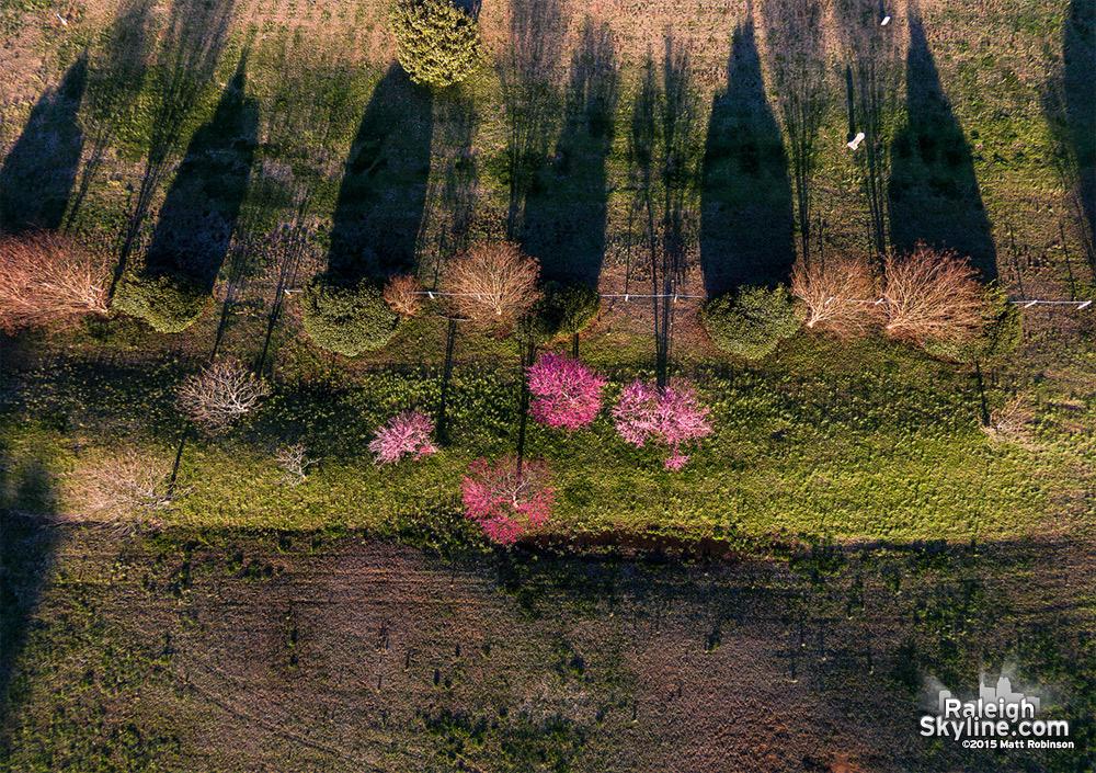 Overhead of flowering trees