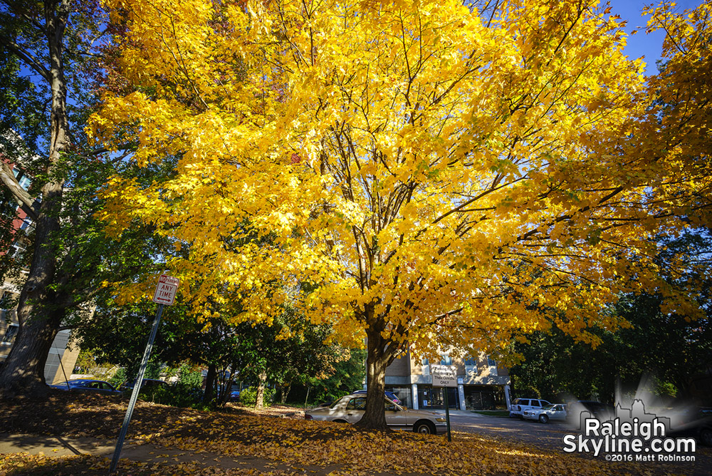 Bright Yellow tree in Glenwood South