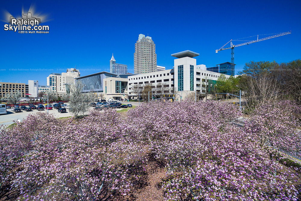 Saucer magnolias in downtown Raleigh - Spring 2016