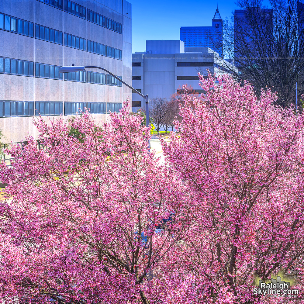 Pink flowering trees along Salisbury Street in downtown Raleigh