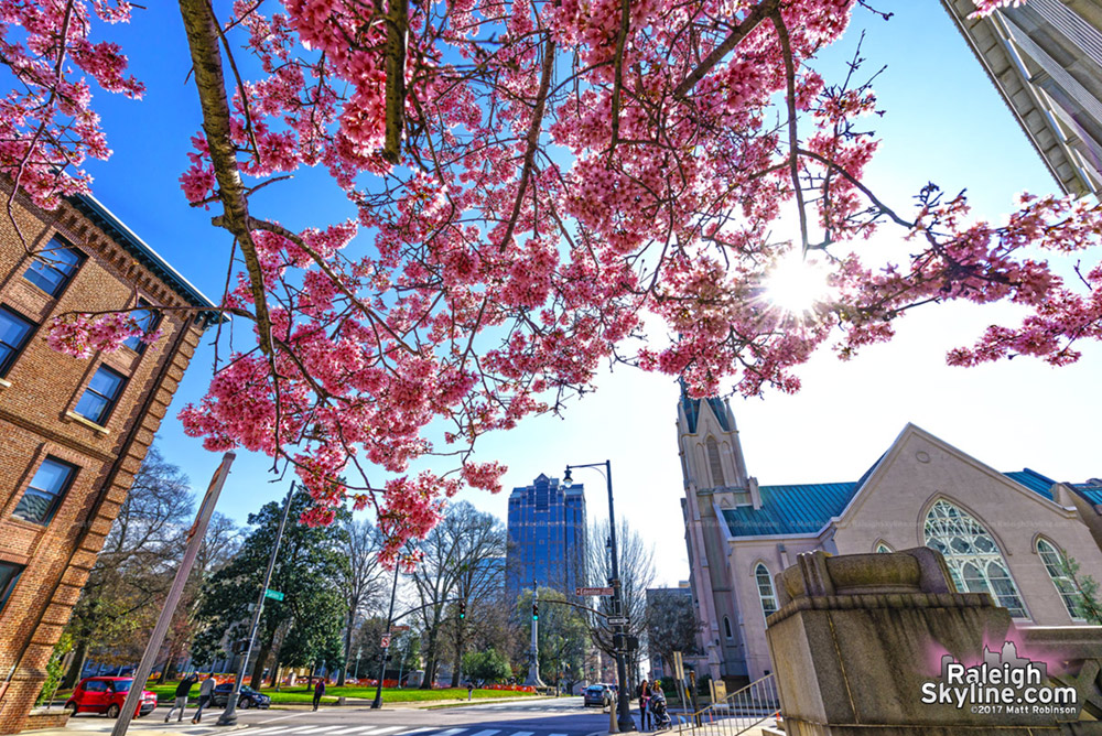 Pink flowering trees in February in Downtown Raleigh