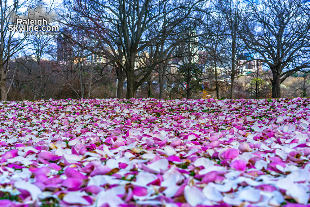 Freshly fallen magnolia petals cover the ground among the big oak trees at Dix Park in Raleigh