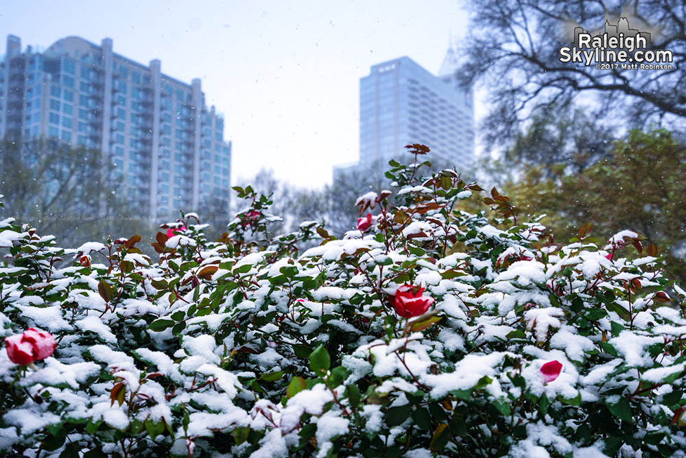 Roses in Moore Square with Snow