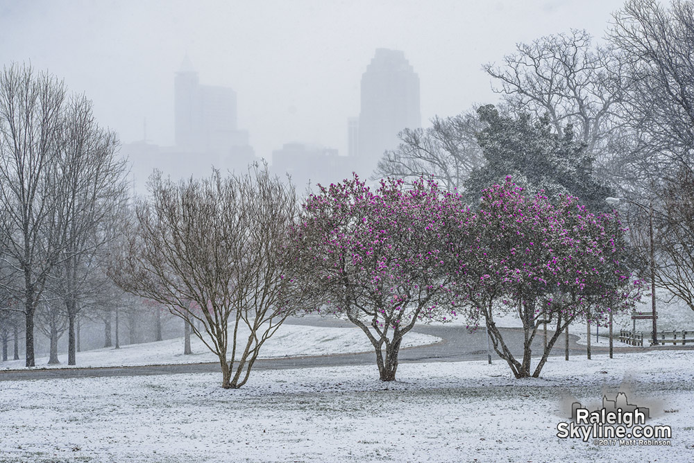 Saucer Magnolia blooms with downtown Raleigh during snowfall