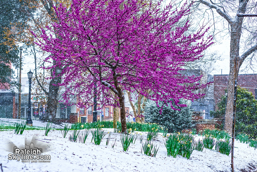 Red bud blooms and daffodils with snow in Nash Square