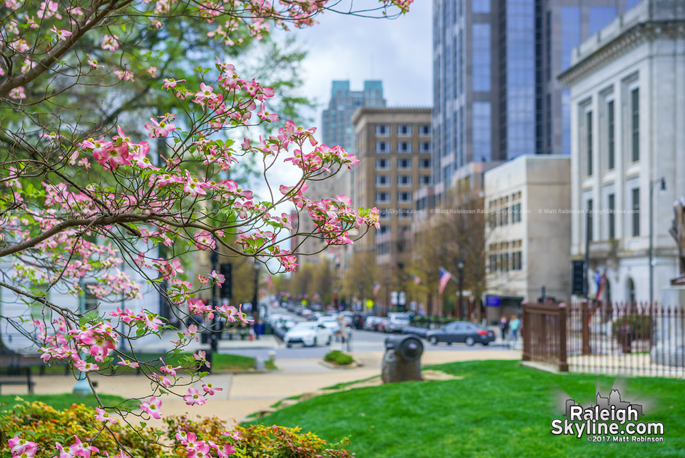 Pink dogwood blooms at the Capitol looking towards Fayetteville Street