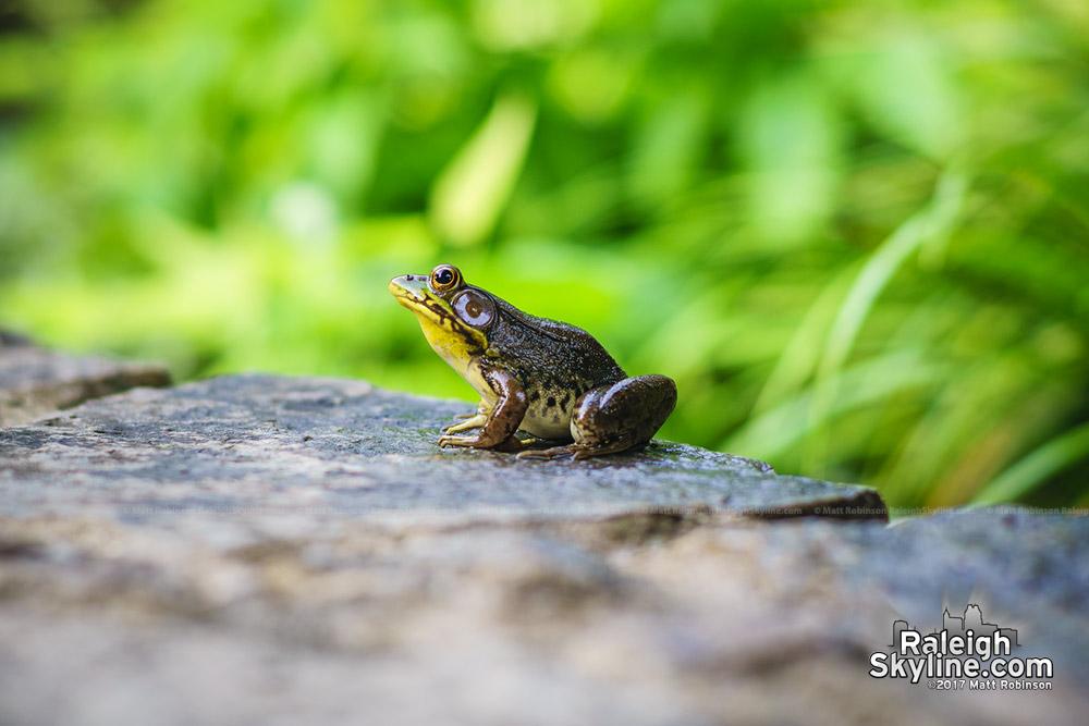 Frog at JC Raulston Arboretum