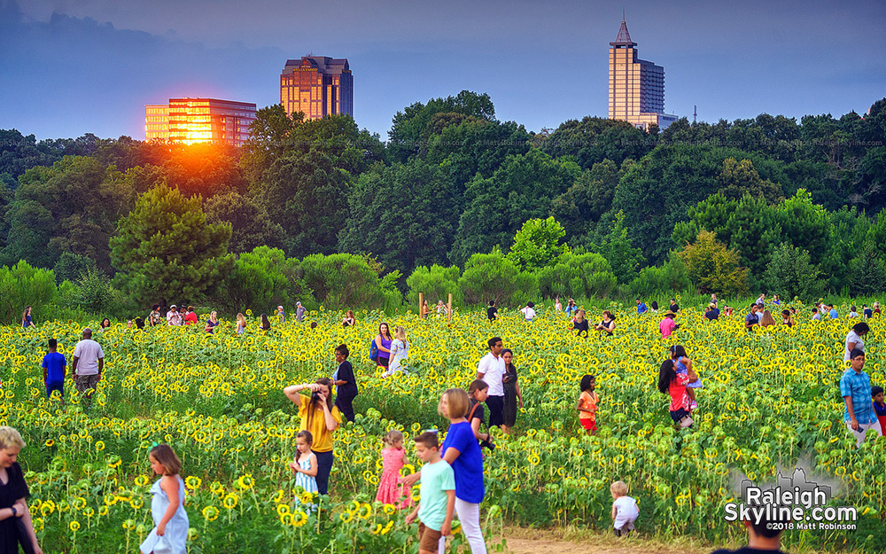Sunset reflections with downtown Raleigh and sunflowers at Dorothea Dix