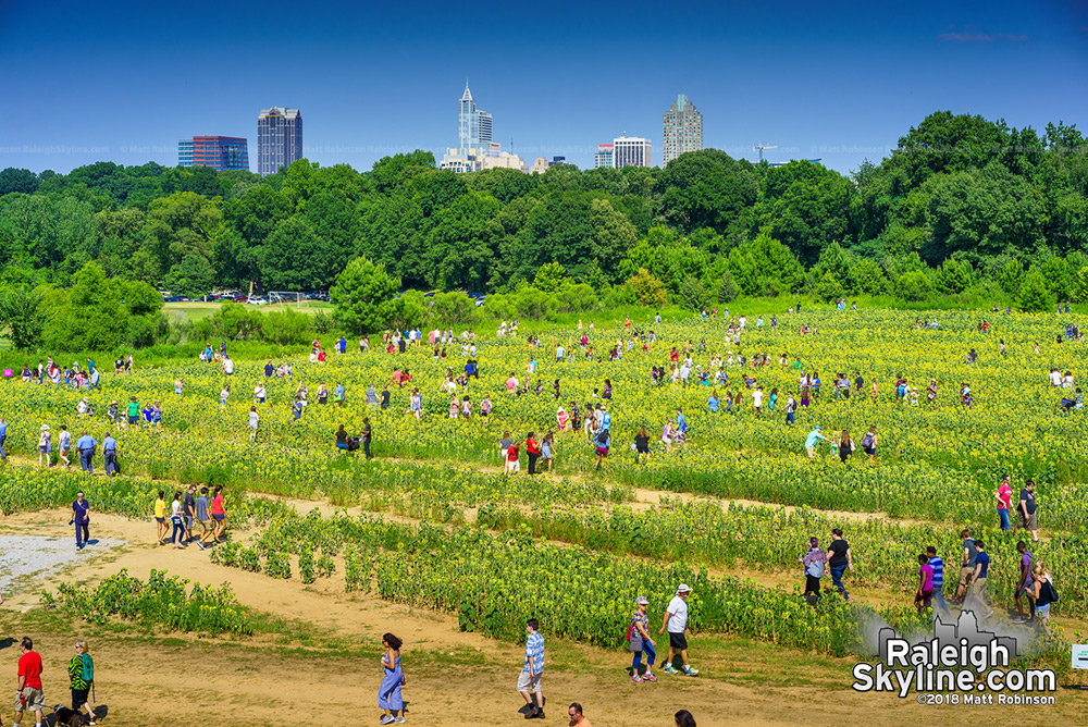 Hundreds of Raleighites visit the sunflowers during Dorothea Dix Park Sunfest