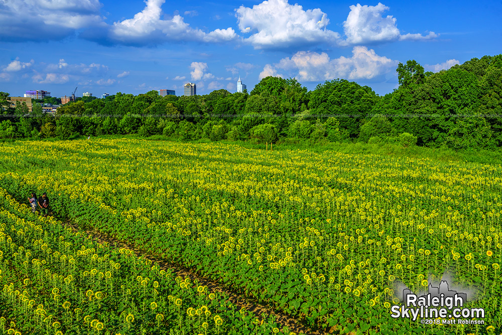 Five acres of Sunflowers at Dorothea Dix Park