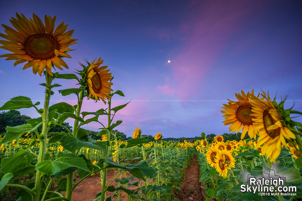 Sunrise at Raleigh sunflowers