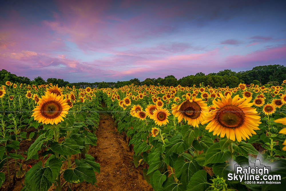 Sunrise over the field of Raleigh sunflowers
