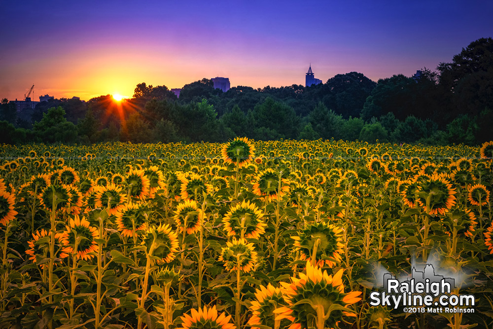 The sun rises behind downtown Raleigh with the sunflowers at Dorothea Dix Park