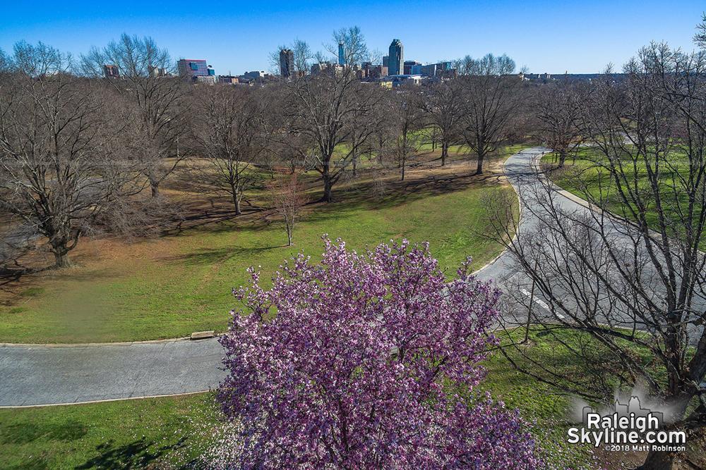 Saucer magnolia blooming at Dix Park