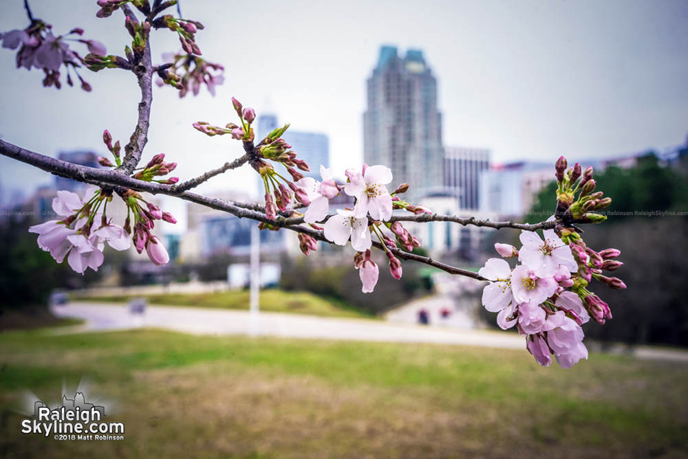Cherry Blossom with downtown Raleigh