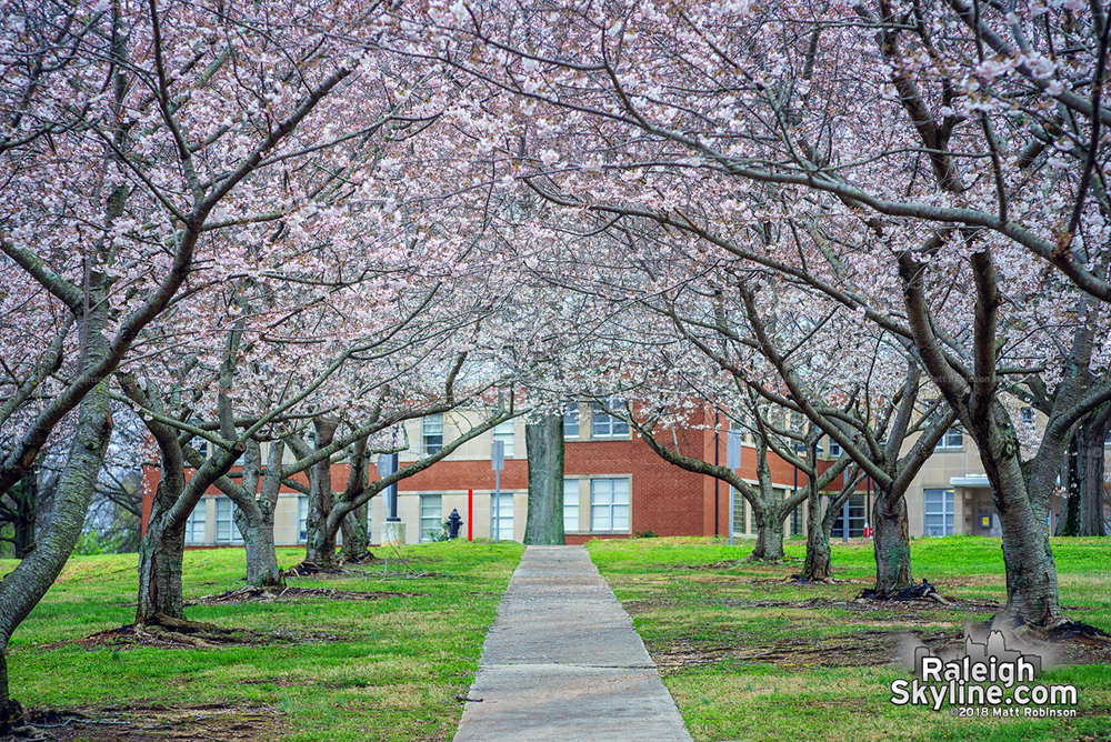 Row of Cherry Blossoms at the Cherry Building at Dorothea Dix