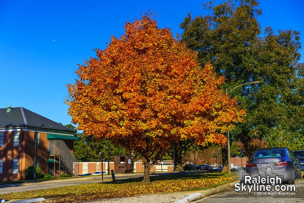 Dix Maple tree