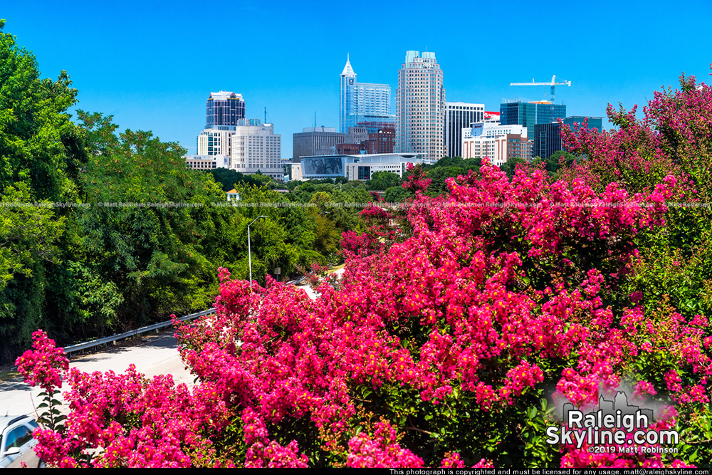 Crepe Myrtle trees in full bloom with Raleigh