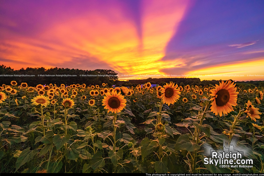Sunset behind the Dorothea Dix Sunflowers