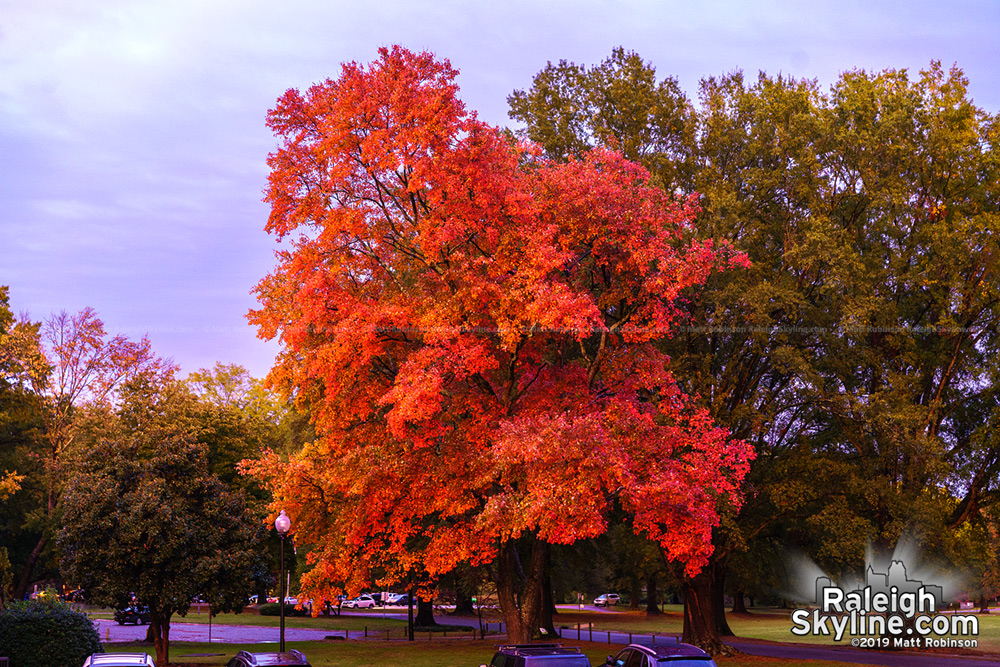 Bright red tree in Raleigh