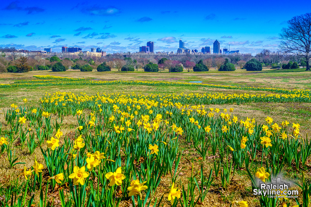 Early daffodils popping up at Dix Park